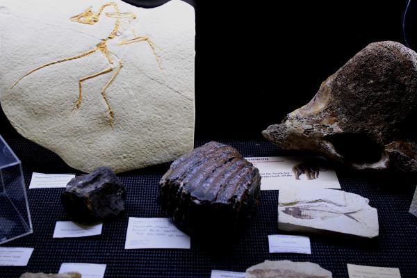 Fossil mammoth molar and vertebrae