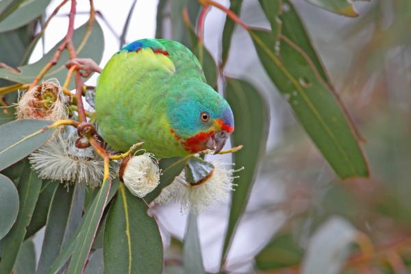Chris Tzaros - Inala Nature Tours - Swift Parrot