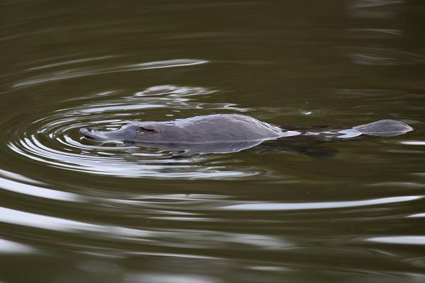 Platypus, Bob Lewis