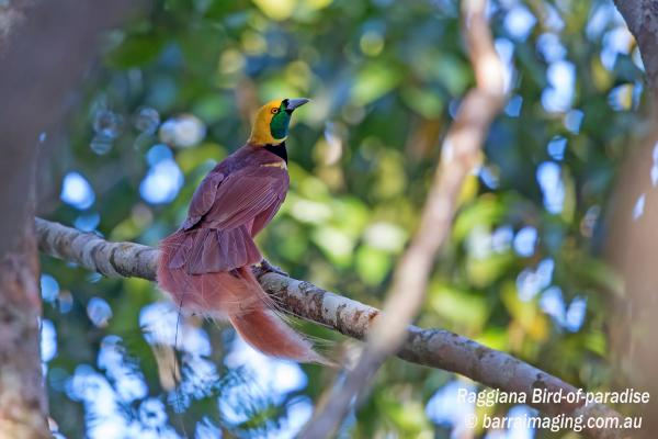 Raggiana Bird Of Paradise - Geoff Jones - Inala Nature Tours