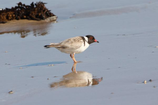 Hooded Plover, B O'Keefe