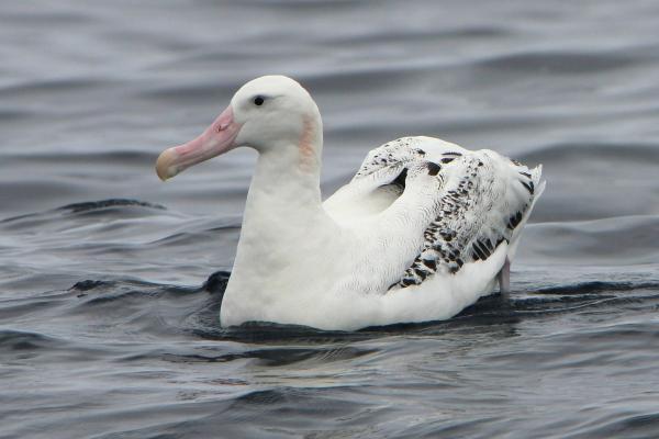 Wandering Albatross, B O'Keefe