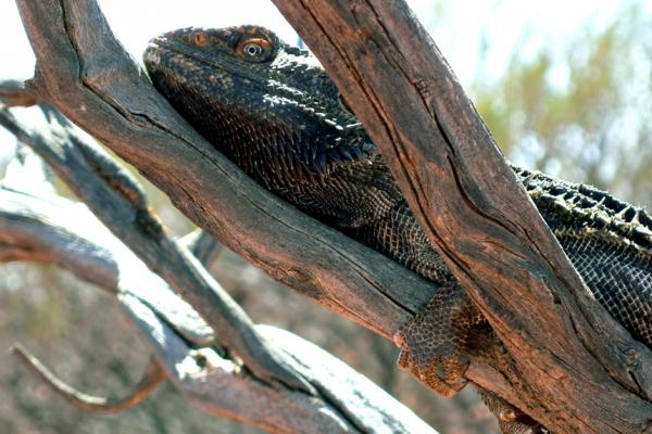 Bearded Dragon, Central Australia, Daniela Brozek Cordier