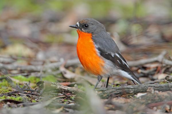 Flame Robin - Chris Tzaros - Inala Nature Tours