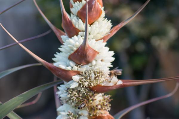 Richea dracophylla - Dragon Leaf Richea - Inala Jurassic Garden
