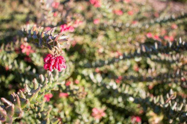 Grevillea baueri - Bauers Grevillea - Inala Jurassic Garden