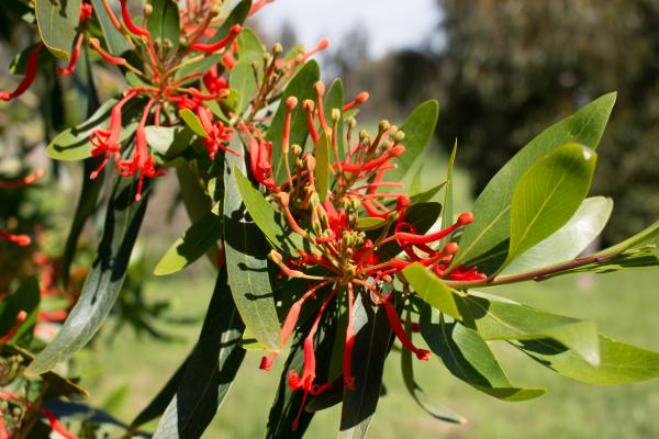 Embothrium coccineum - Chilean Firetree - Inala Jurassic Garden