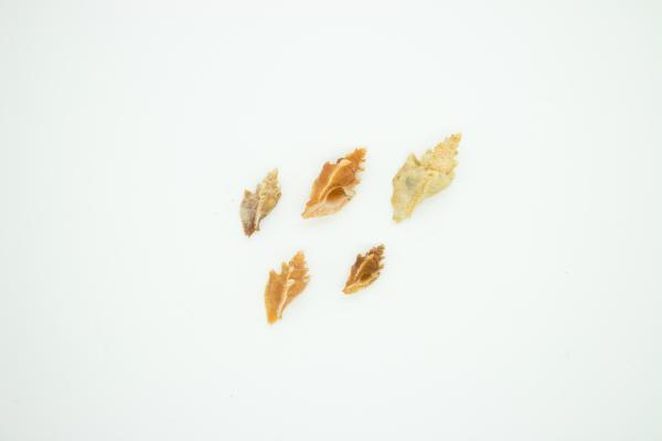 Prototyphis angasi - Muricidae - Shells - Inala Nature Museum
