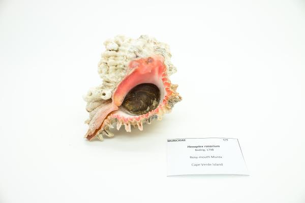 Hexaplex rosarium - Rosy-mouth Murex - Shells - Inala Nature Museum