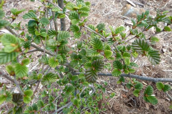 Nothofagus gunnii - Fagus or Deciduous Beech - Inala Gondwana Garden