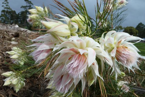 Serruria blushing bride - Inala Gondwana Garden