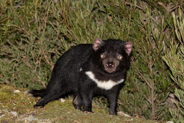 Tasmanian Devil, Veldt Veen