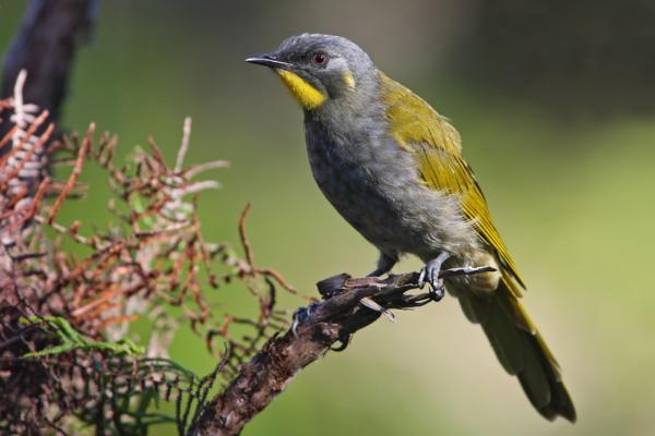 Chris Tzaros - Inala Nature Tours - Yellow throated Honeyeater