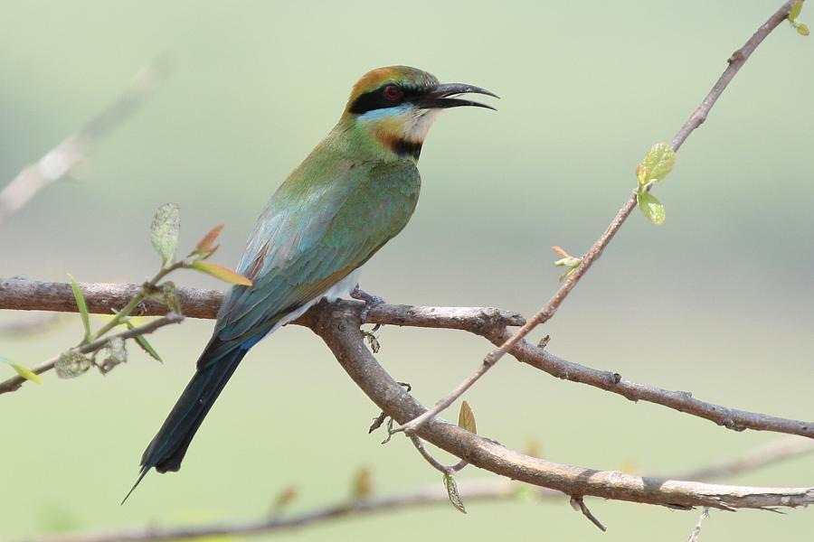 Rainbow Bee Eater - Bob Lewis - Inala Nature Tours