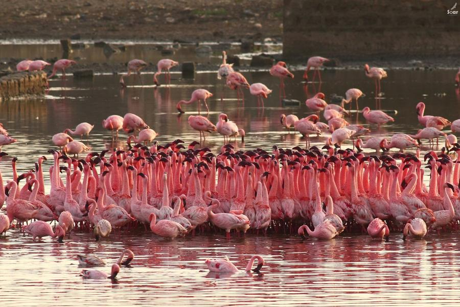 Flamingo's - Soar - Inala Nature Tours