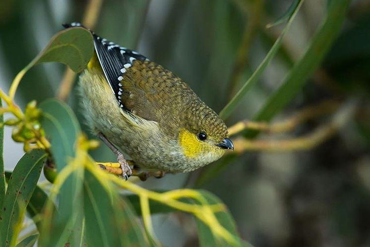 Mark Simpson - Forty-spotted Pardalote - Inala Nature Tours