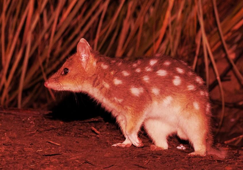 Eastern Quoll ( Light Morph ) - Alfred Schulte - Inala Nature Tours