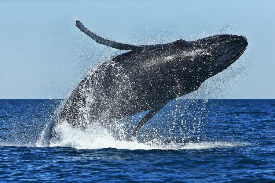 Rod Hartvigsen - Humpback Whale - Inala Nature Tours