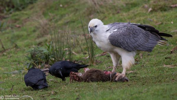 White-bellied sea-eagle and ravens at Inala (Photo: Alfred Schulte)