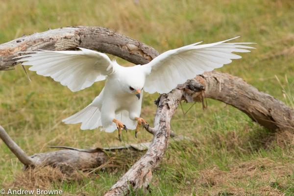 Grey Goshowk (white morph) by Andrew Browne - Inala Nature Tours