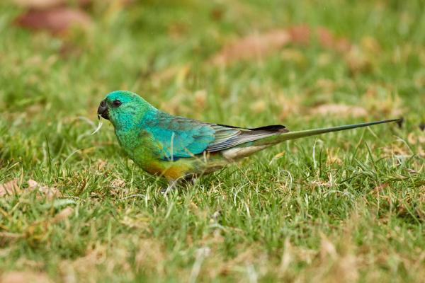 Red Rumped Parrot - Inala Nature Tours - Photographer Cindy Marple