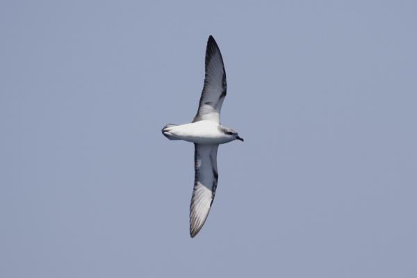 Cook's Petrel - Paul Brooks - Inala Nature Tours
