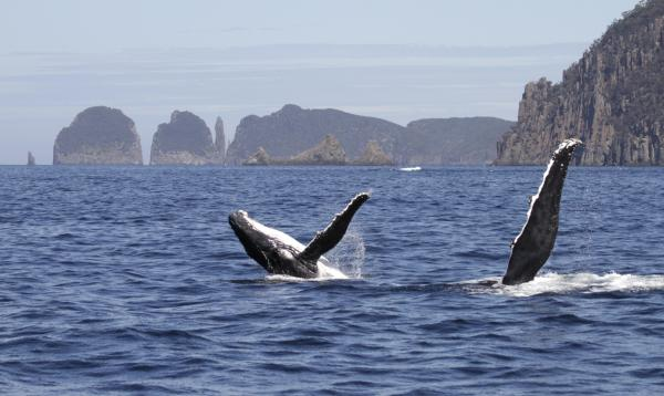 Humpbacks and Cape Hauy - Paul Brooks - Inala Nature Tours