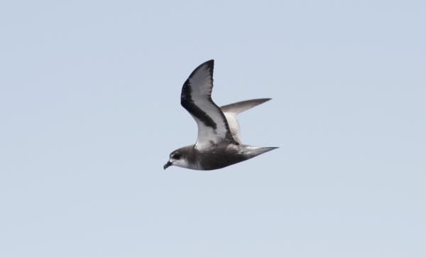 Mottled Petrel - Paul Brooks - Inala Nature Tours