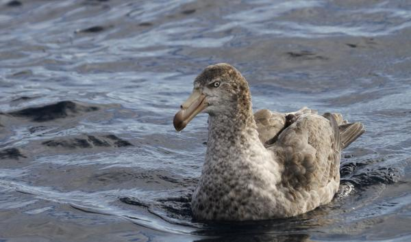Northern Giant Petrel - Paul Brooks - Inala Nature Tours