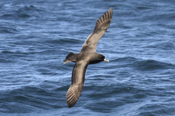 White-chinned Petrel - Paul Brooks - Inala Nature Tours