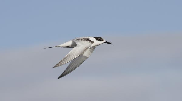 White-fronted Tern - Paul Brooks - Inala Nature Tours