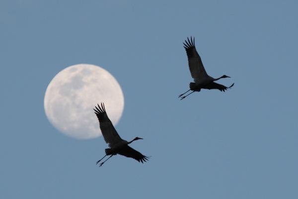 Sarus Cranes - Bob Lewis - Inala Nature Tours