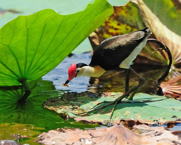 Comb crested jacana - Pat Kelly - Inala Nature Tours
