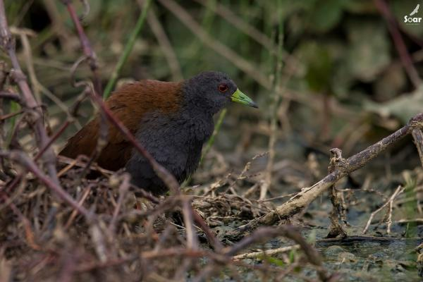 Bhutan - Black-tailed Crake - Soar  - Inala Nature Tours