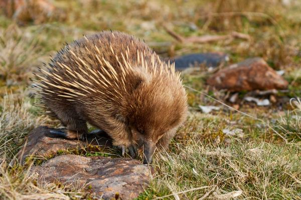 Echidna - Cindy Marple - Inala Nature Tours