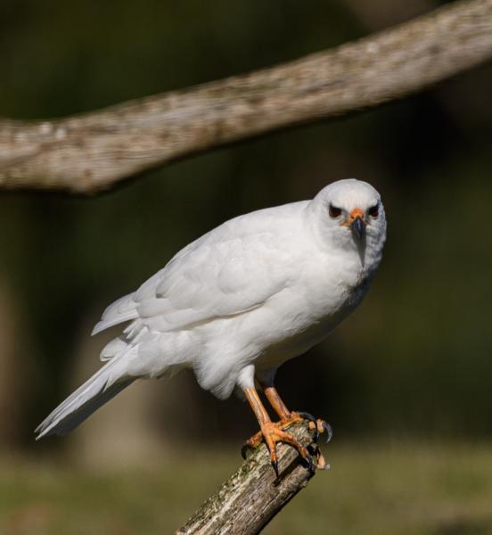 Matt Oliver - Grey Goshawk ( white morph) - Inala Nature Tours