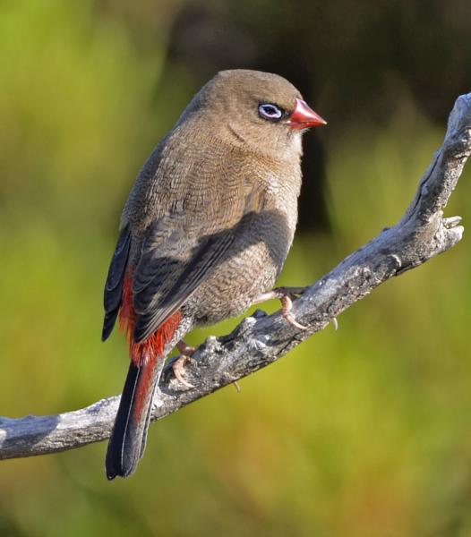 Stuart Watkins - Beautiful Firetail - Inala Nature Tours