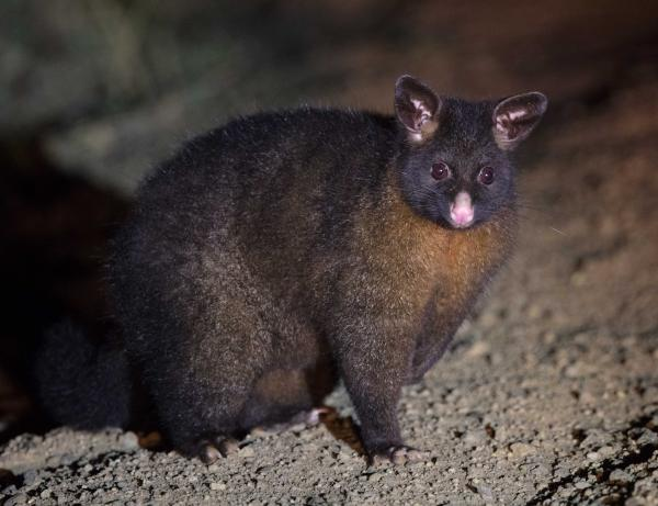 Brush-tailed Possum - Matthew Pennington - Inala Nature Tours