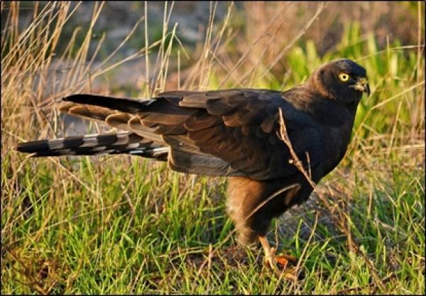 Black Harrier by Wayne Jones