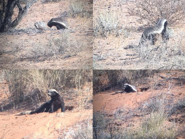 Honey Badger and Tortoise -Tonia Cochran - Inala Nature Tours