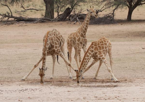 Giraffe in Kgalagadi by Richard White