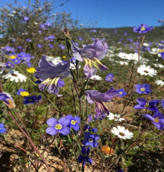 Spring Wildflowers near Darling by Tonia Cochran