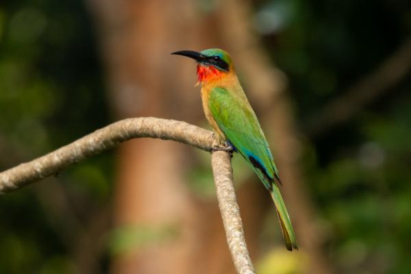 Red-throated Bee-eater - Bronwen Scott - Inala Nature Tours