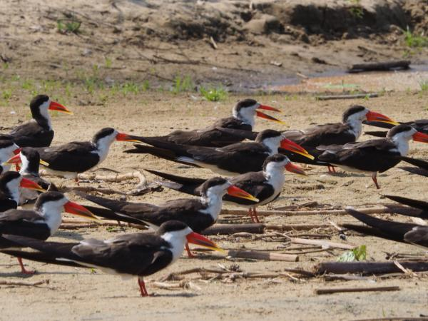 African Skimmers - Charles Stack - Inala Nature Tours