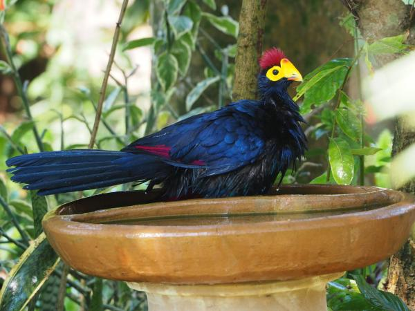 Ross's Turaco - Charles Stack - Inala Nature Tours