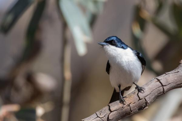 Restless Flycatcher - Alfred Schulte - Inala Nature Tours