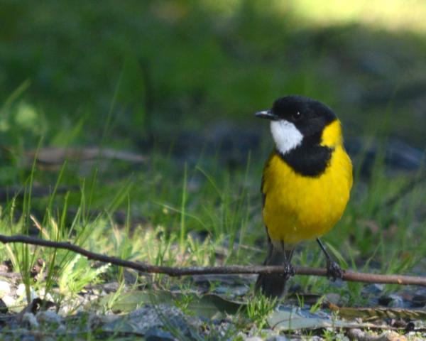 Western Whistler  - Robyn Pickering - Inala Nature Tours