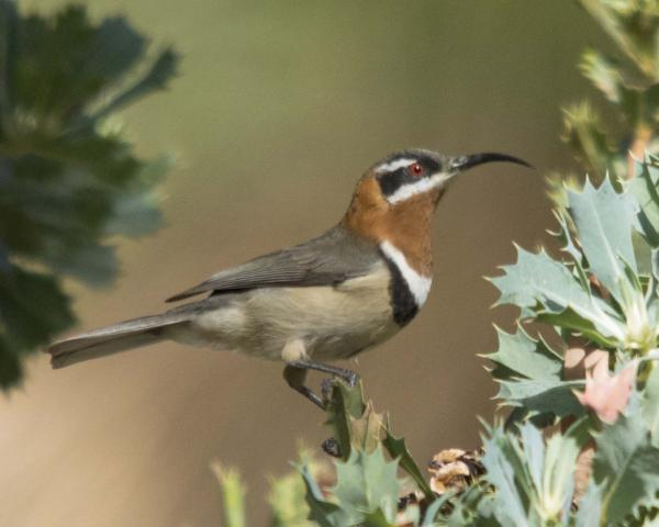 Western Spinebill - Robyn Pickering - Inala Nature Tours