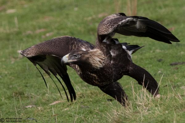 Wedge Tailed Eagle - Alfred Schulte - Inala Nature Tours