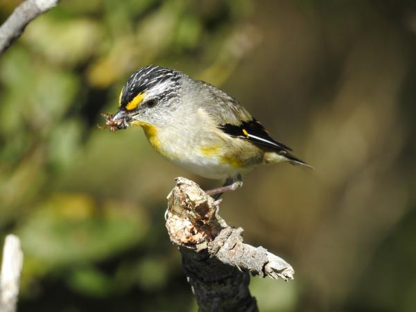 Striated Pardalote - Inala Nature Tours - Cat Davidson